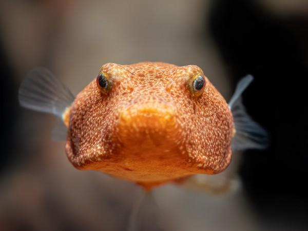 Brauner Kugelfisch