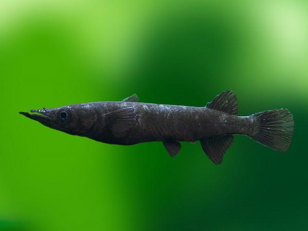 Schwarzer Sulawesi-Halbschnabelhecht