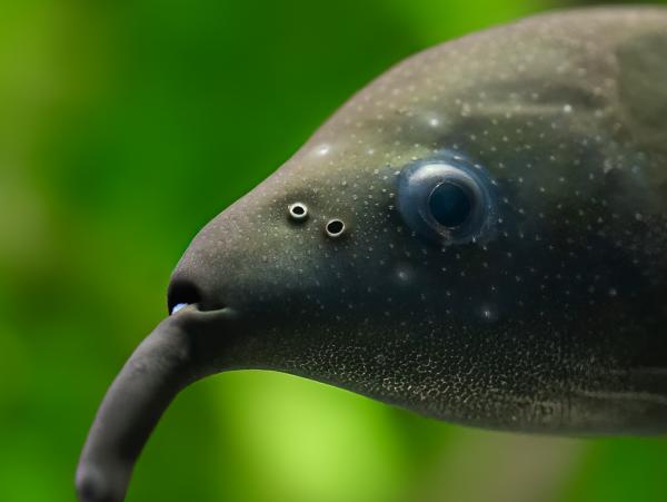 Elefantenrüsselfisch