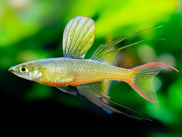 Filigran-Regenbogenfisch