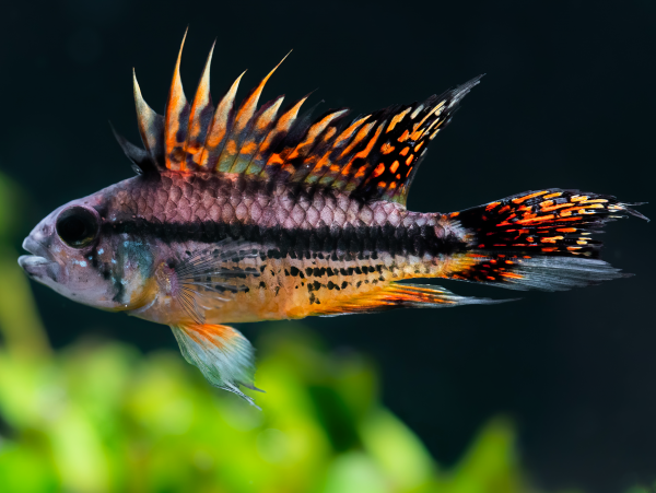 Apistogramma cacatuoides - double red