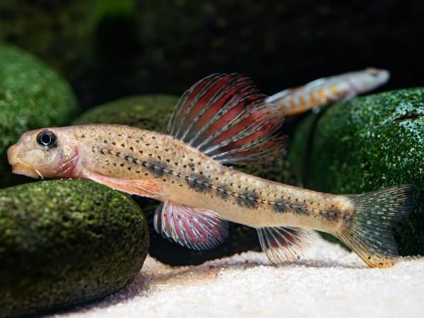 Microphysogobio tafangensis