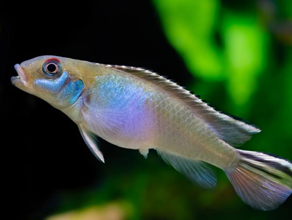 Blauer Kongozwergbuntbarsch