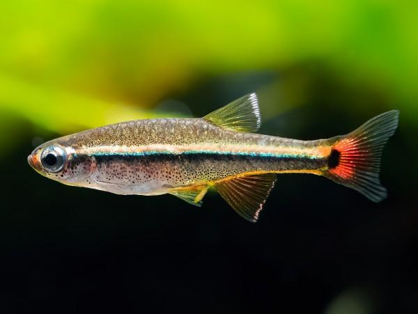 Vietnam Kardinalfisch