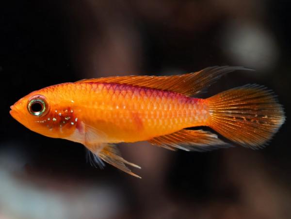 Agassiz' Zwergbuntbarsch 'fire fish'