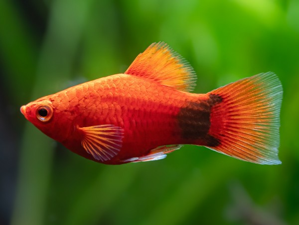 Korallenroter Micky Mouse Platy