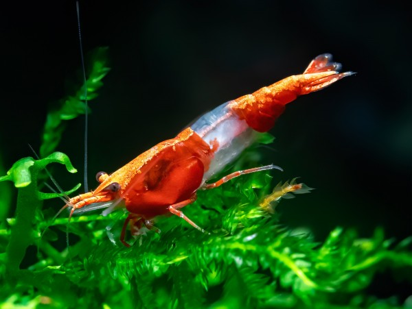 Red Rili Garnele