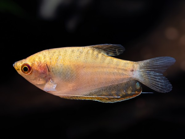 Goldener Fadenfisch
