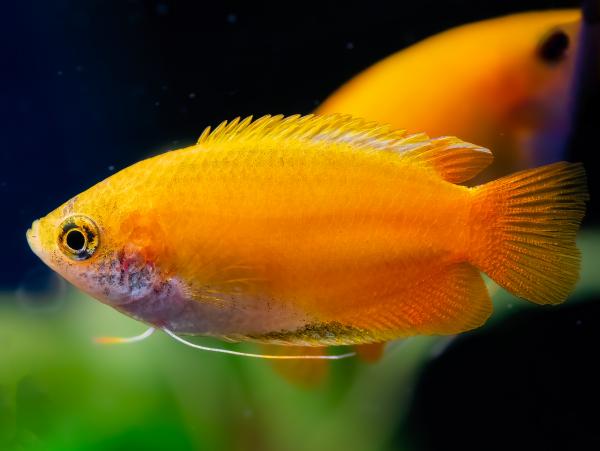 Goldener Honiggurami