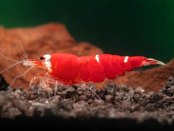 Super Crystal Red Garnele 'SCR'