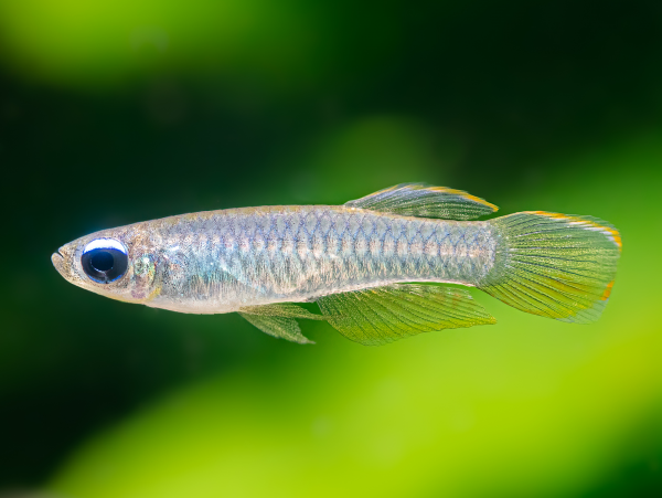 Normans Leuchtaugenfisch