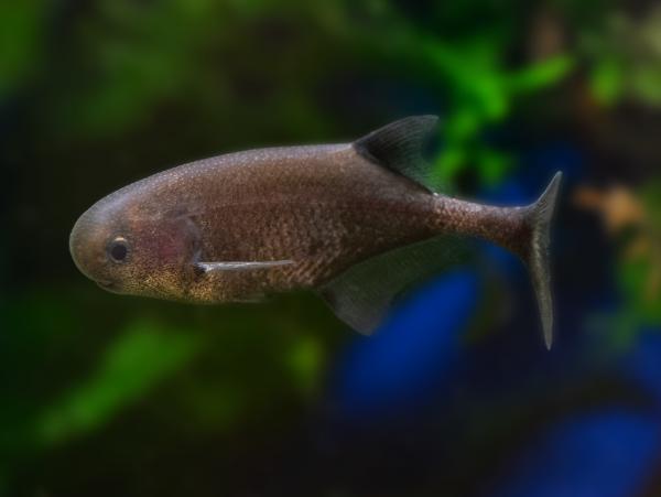 Roter Zwergrundnasenelefantenfisch