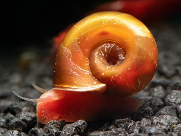 Rot-Orange Posthornschnecke
