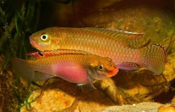 Congochromis sabinae 'Nioki'