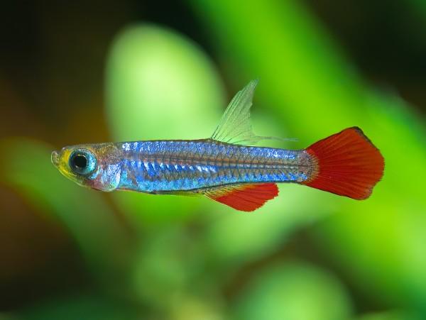 Kolibri-Zwergleuchtaugenfisch