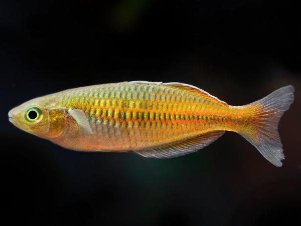 Harlekin-Regenbogenfisch
