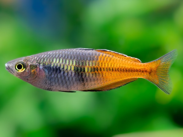 Harlekin-Regenbogenfisch 'Super Orange'