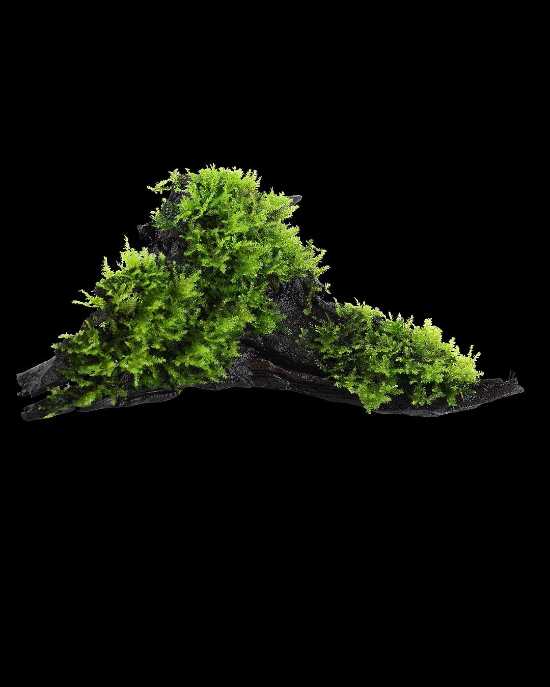 <p>Vesicularia montagnei 'Christmas Moss' auf Holz</p>