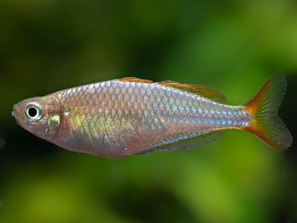 Diamant-Regenbogenfisch