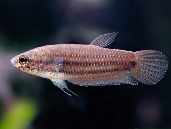 Sumatra-Kampffisch