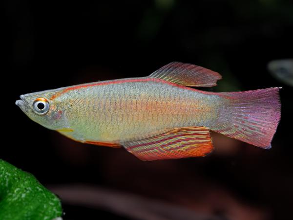 Langflossen-Leuchtaugenfisch