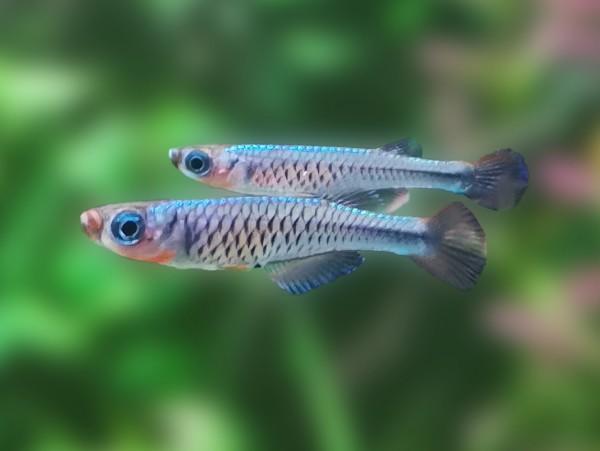 Kongo Zwergleuchtaugenfisch