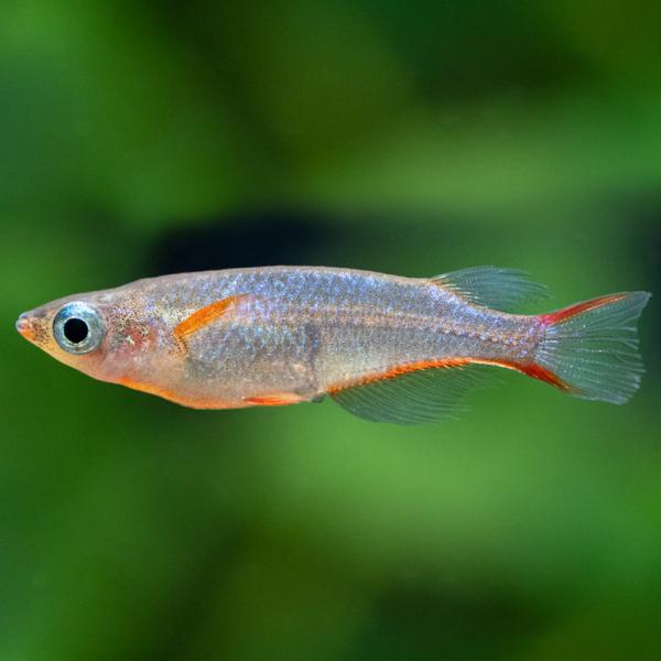 Daisys Leuchtaugenfisch