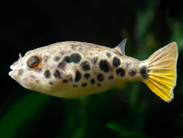 Leopardkugelfisch